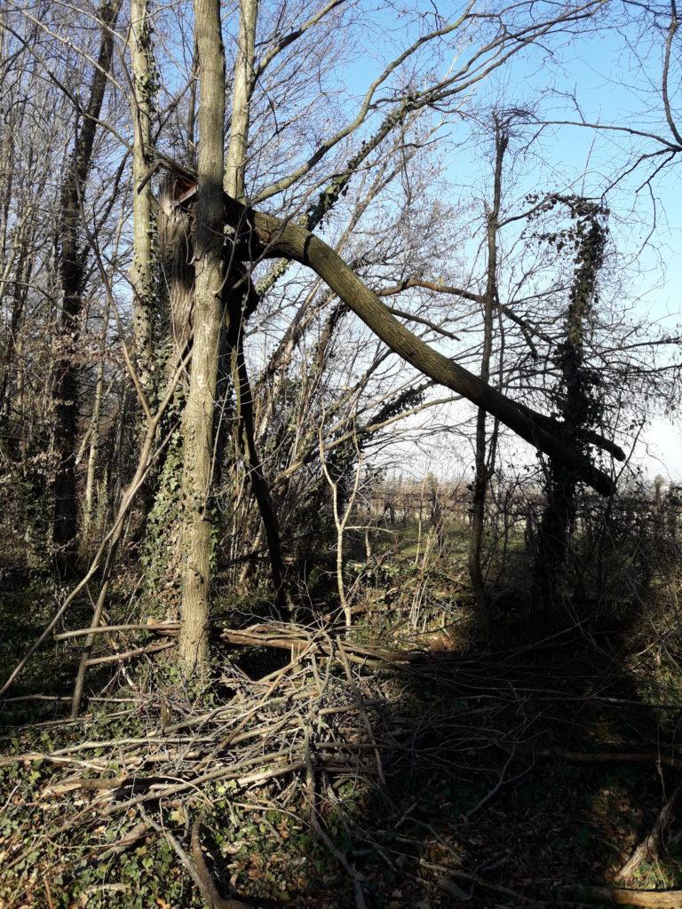 Foto del Bosco della Man di Ferro situazione senza manutenzioni, inverno 2020. Alberi danneggiati.